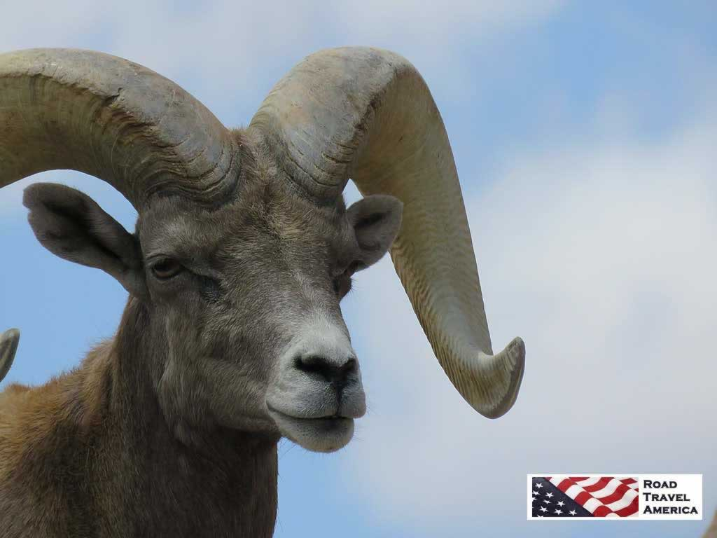 Bighorn Sheep at the Arizona-Sonora Desert Museum