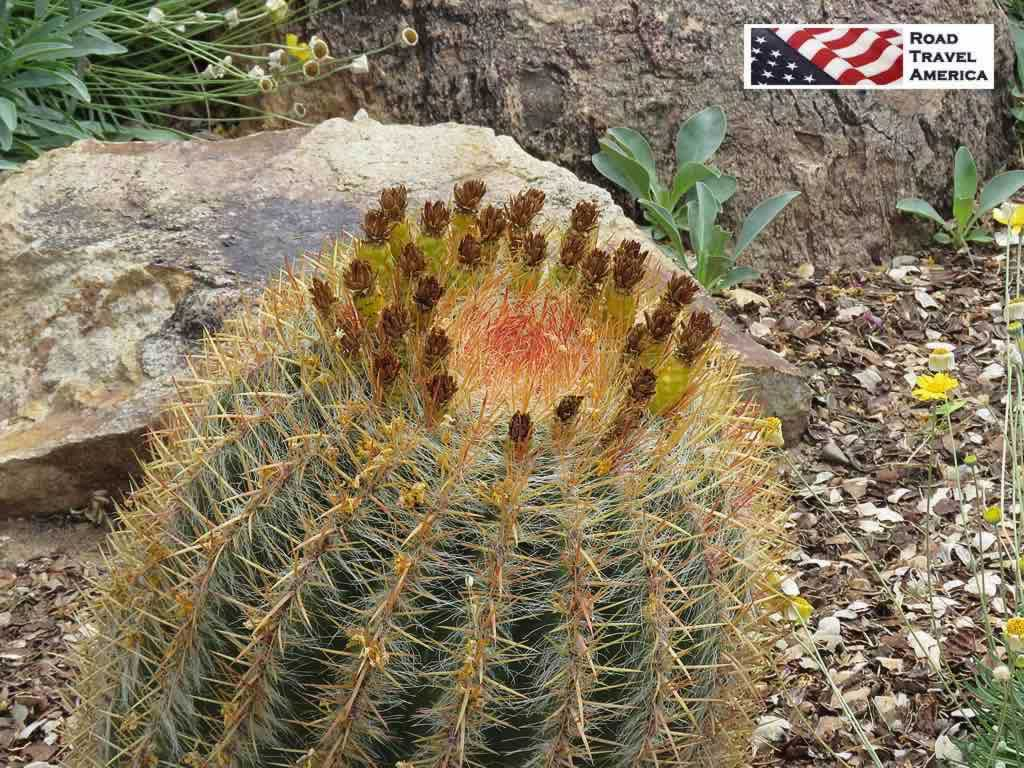 Delicate, colorful cactus blooming at the Arizona-Sonora Desert Museum