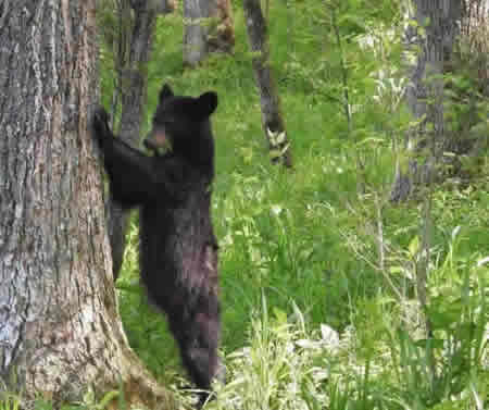 Yes, bear are all around in the Great Smoky Mountains National Park!