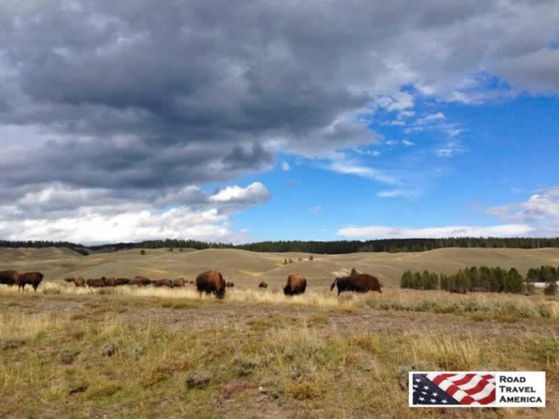 Dozens of bison grazing on the grasslands at Yellowstone National Park